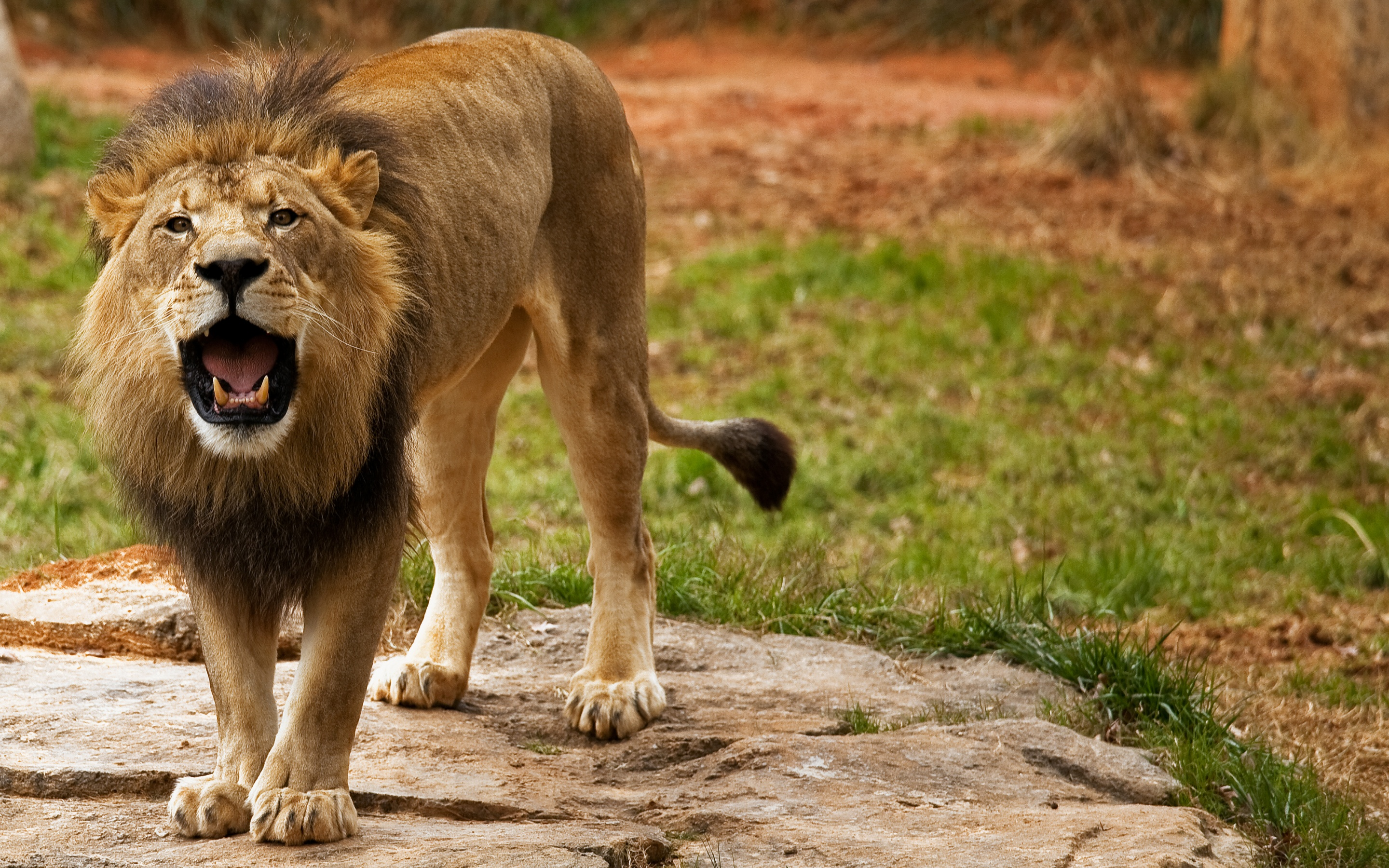 Angry Lion Wallpapers 2880x1800 2212384