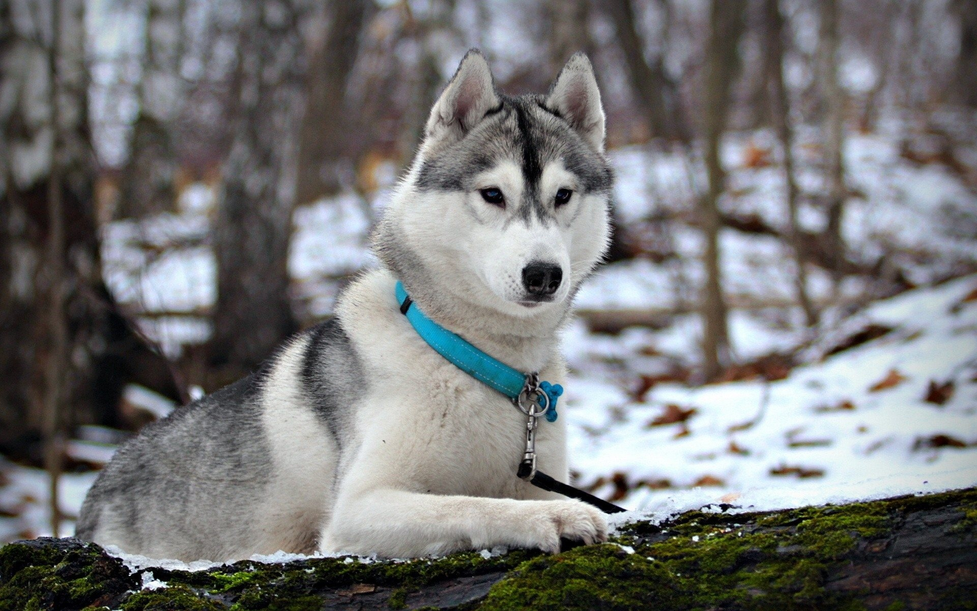 white husky dog for - photo #12