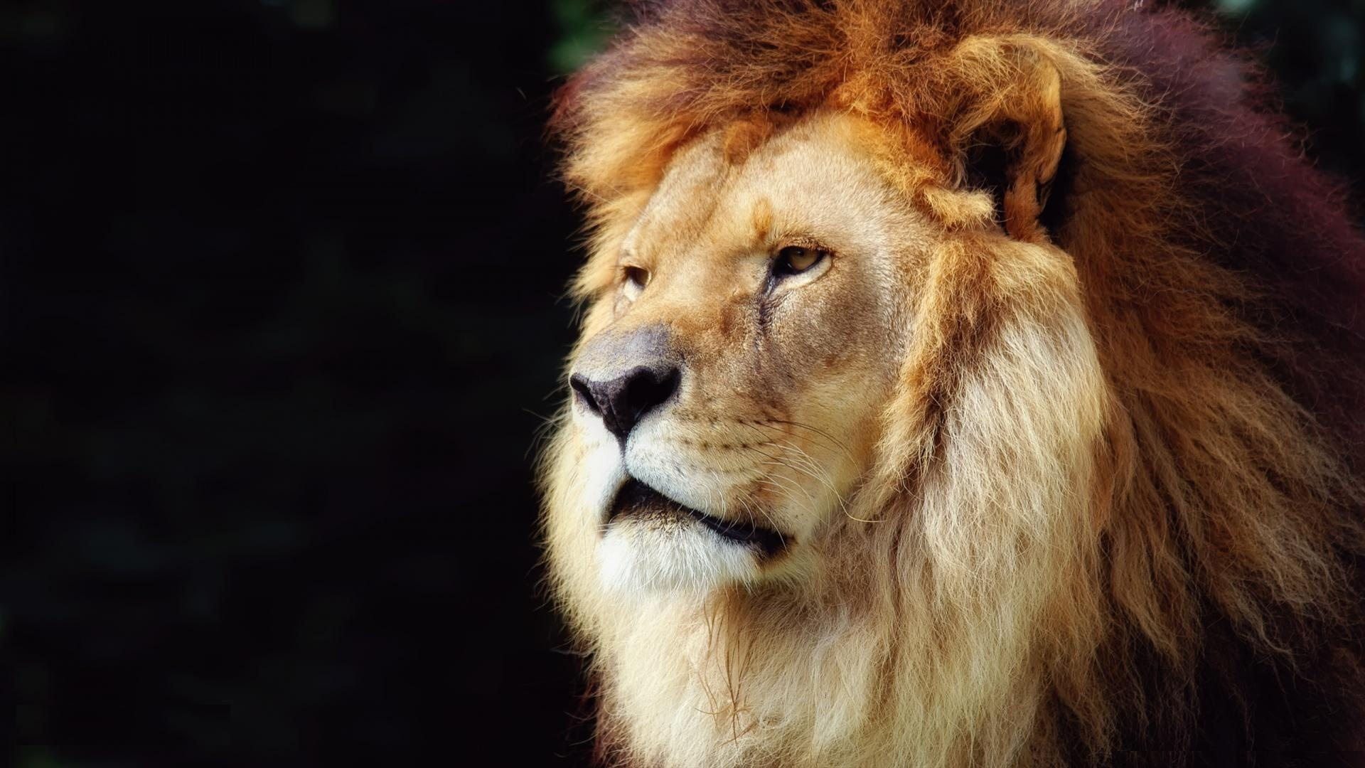 Big Lion Head | 1920 x 1080 ...