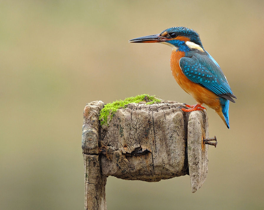 Kingfisher Wallpapers: Bird Kingfisher Colours Wallpapers