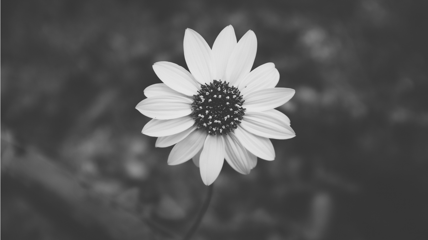 Fantastic Wallpaper Aesthetic Black And White - black_and_white_flower_plant-1366x768  Pictures_17273      .jpg
