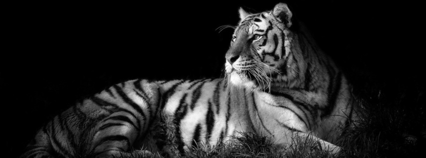 Black And White Tiger | 851 x 315 | Download | Close