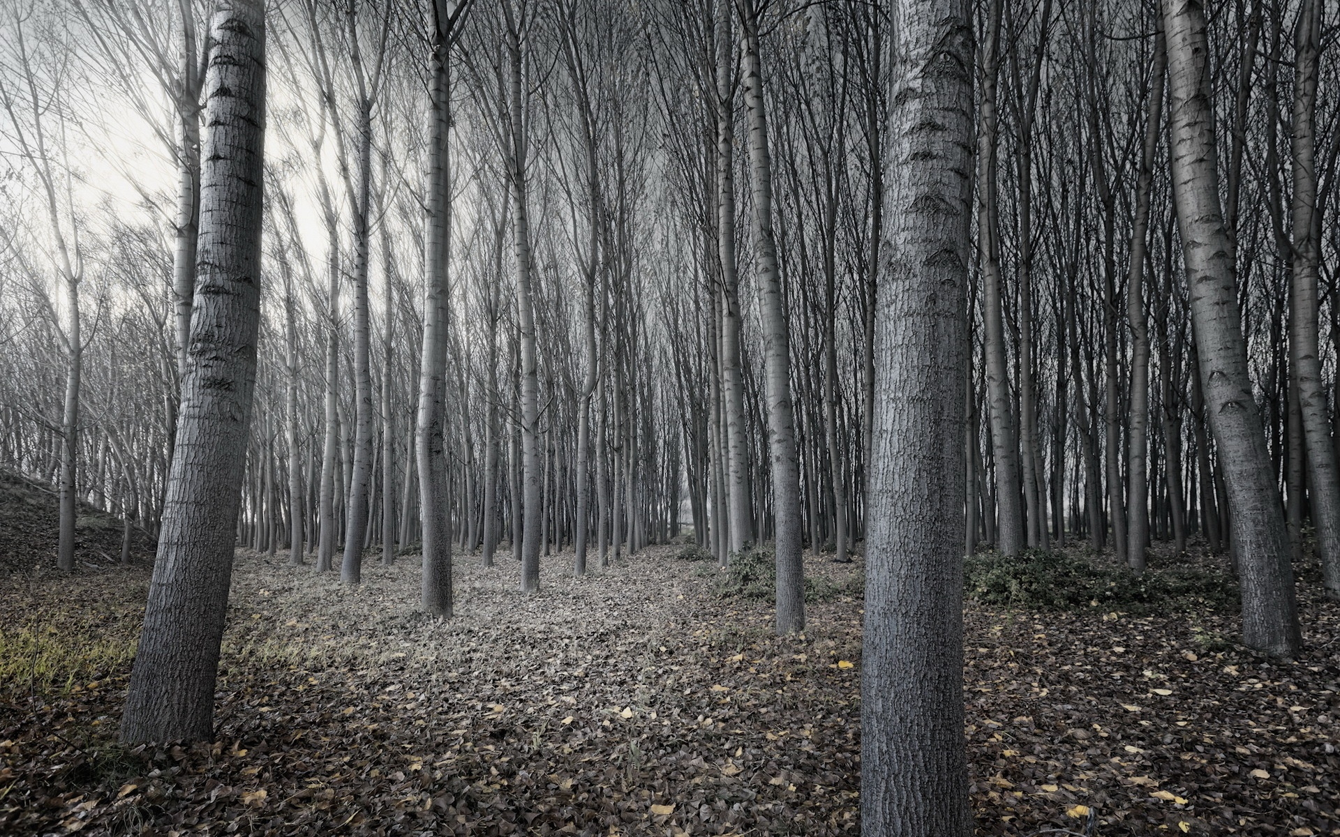 Black and white tree forest 1920 x 1200 download close