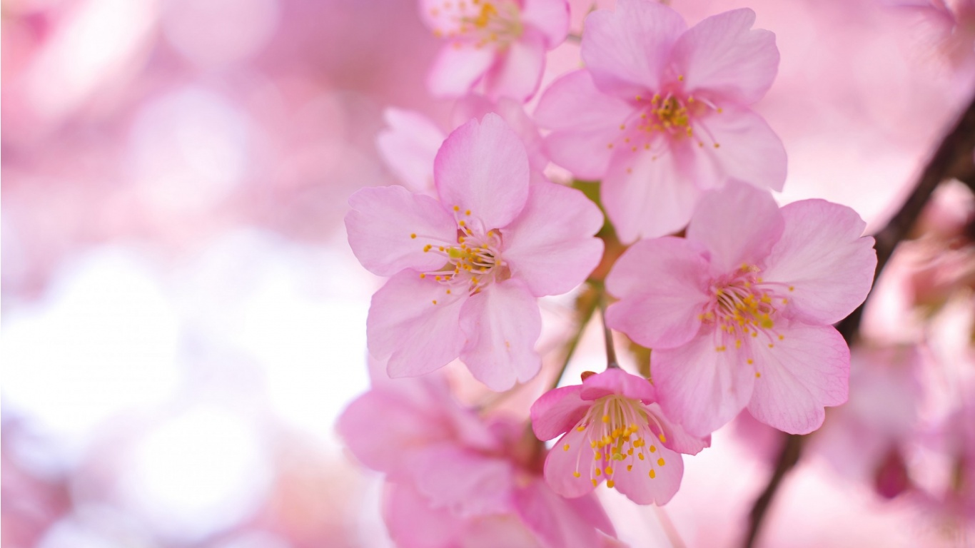 Blurring Sakura Pink Flowers