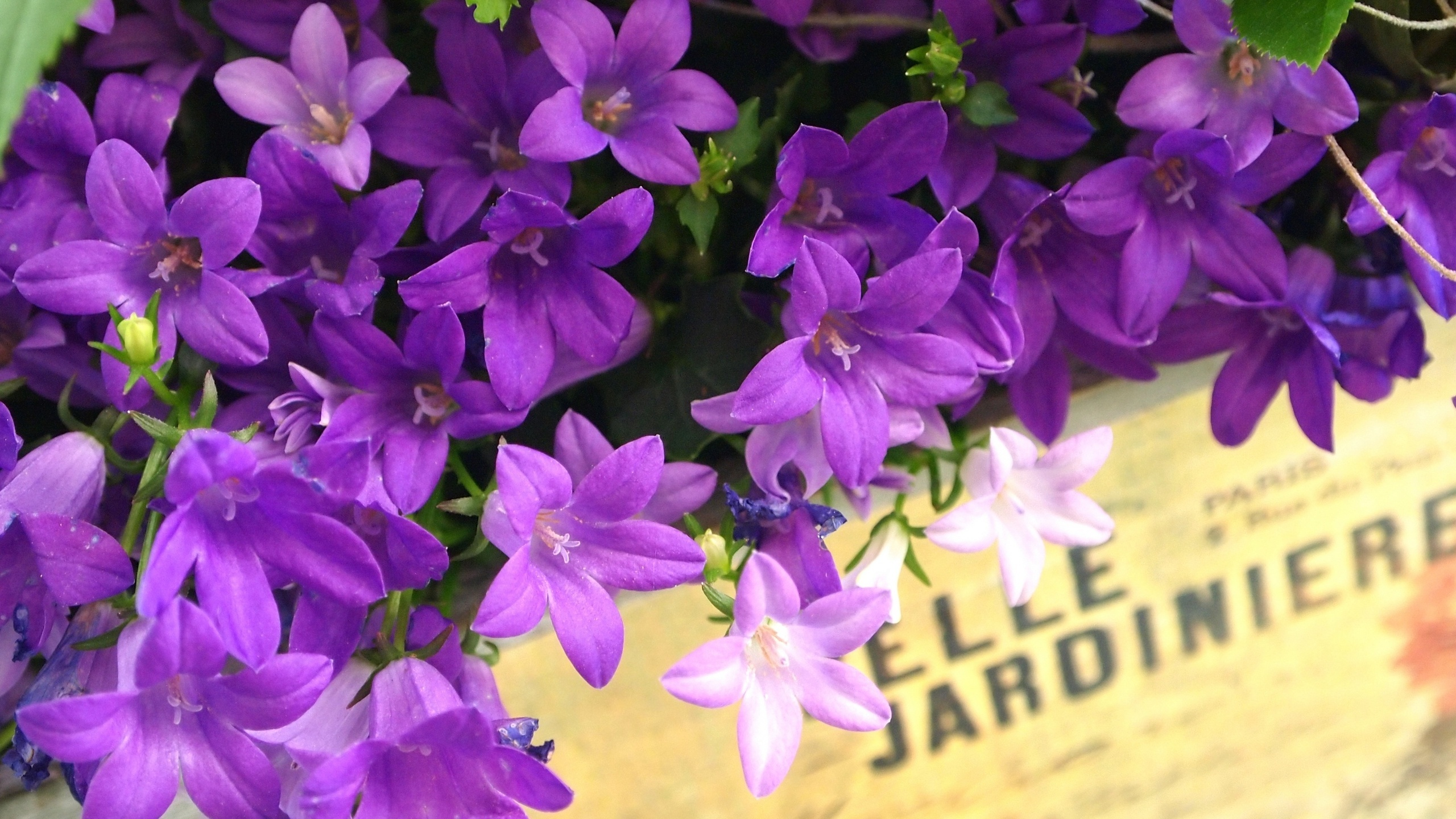lavender flowers wallpapers 2560x1440 - photo #38