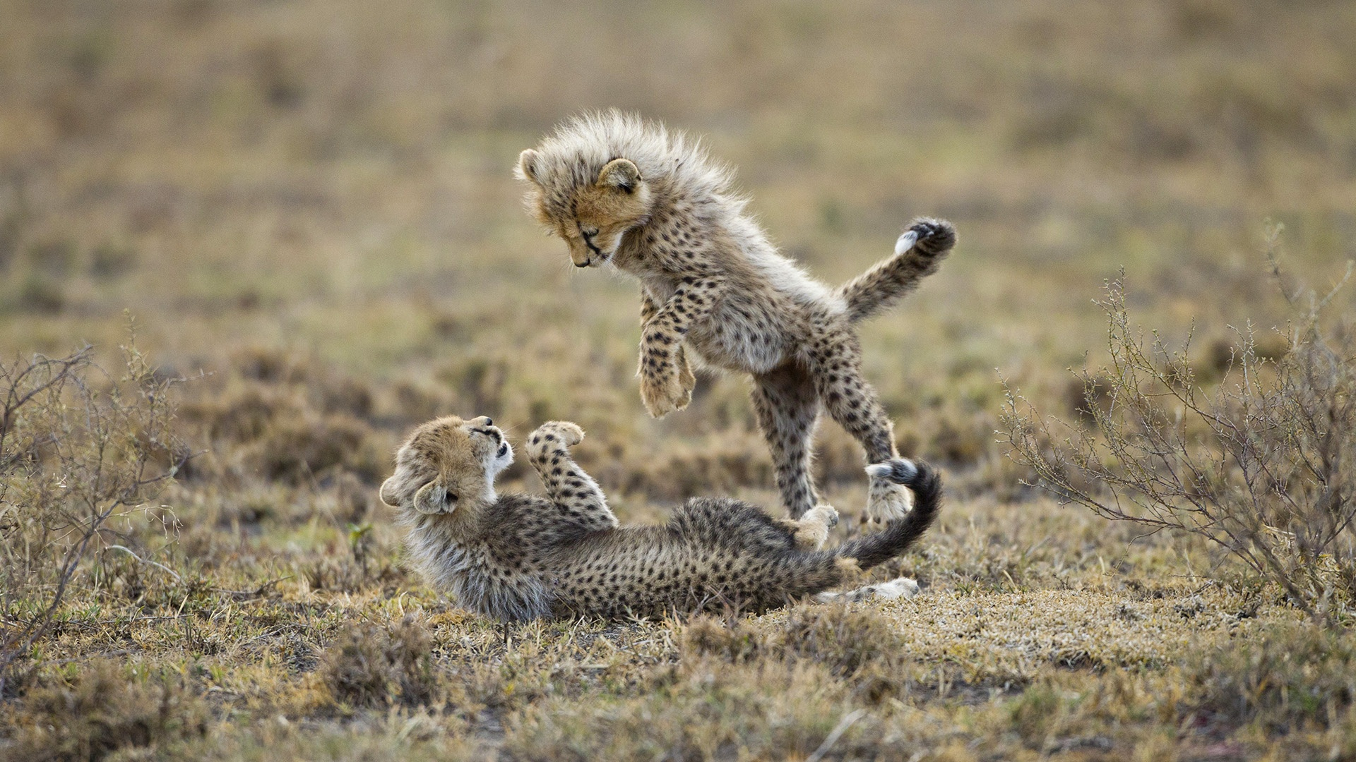 Cheetah cubs playing 1920 x 1080 download close