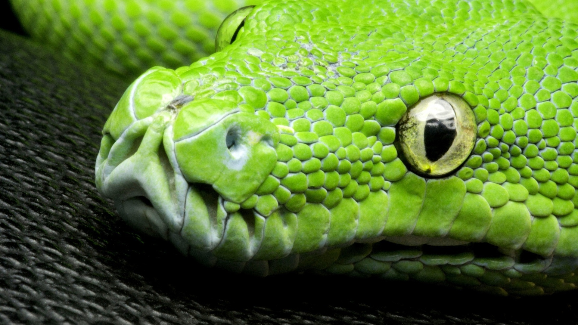 Corallus Caninus Snake Wallpapers