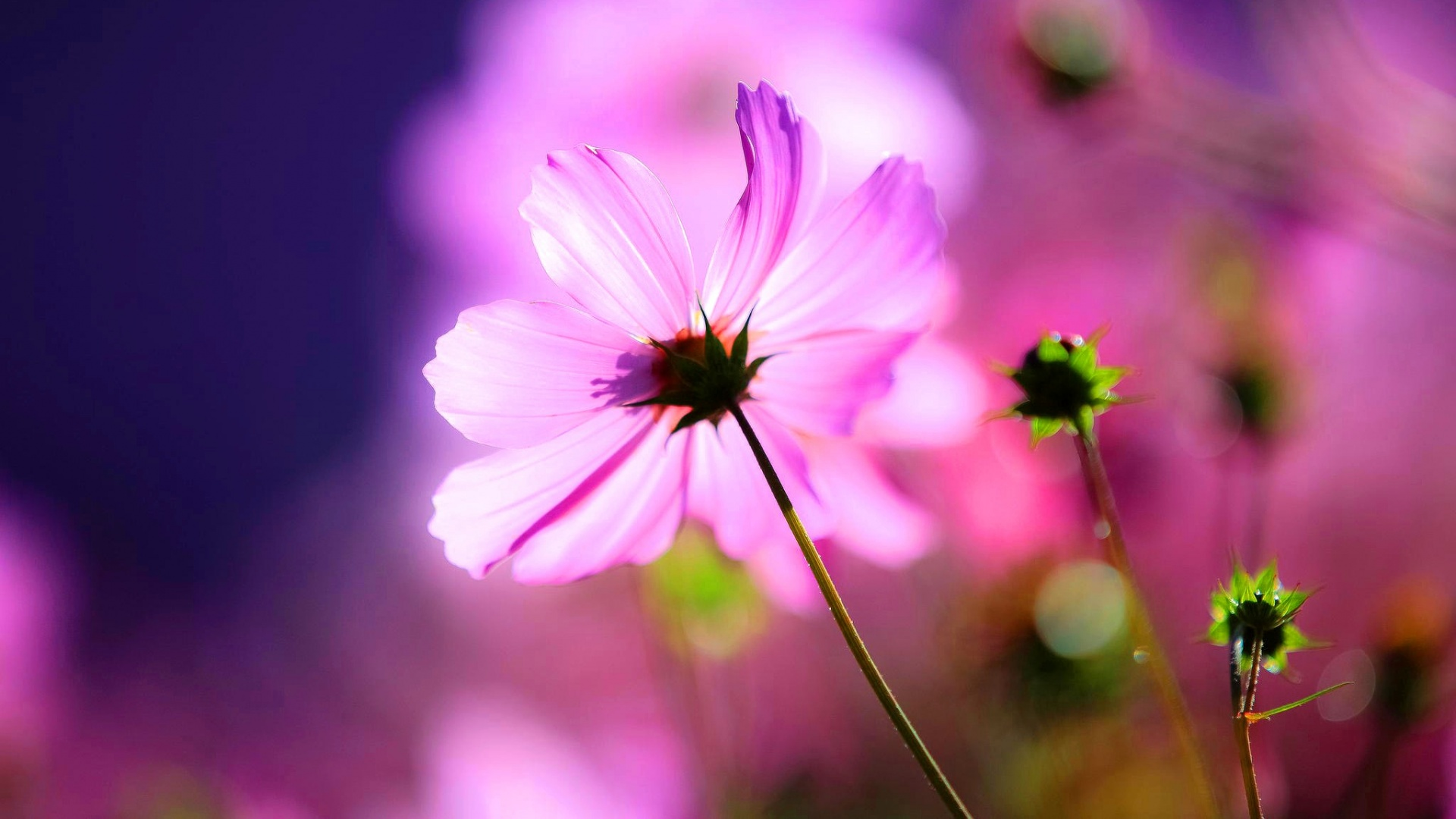 cosmos buds flower light wallpapers 1920x1080 329764