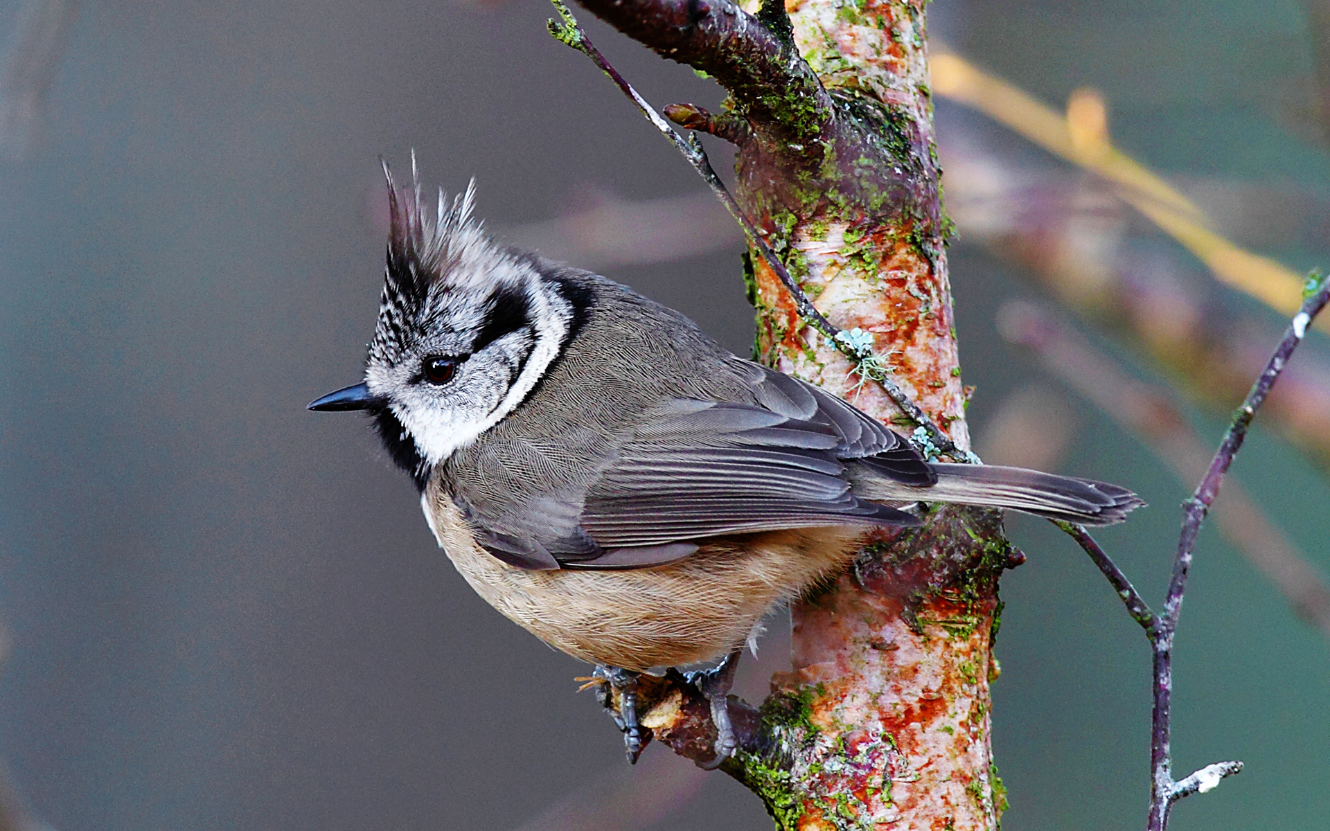 Crested Tit Wallpapers  1920x1200 1231125
