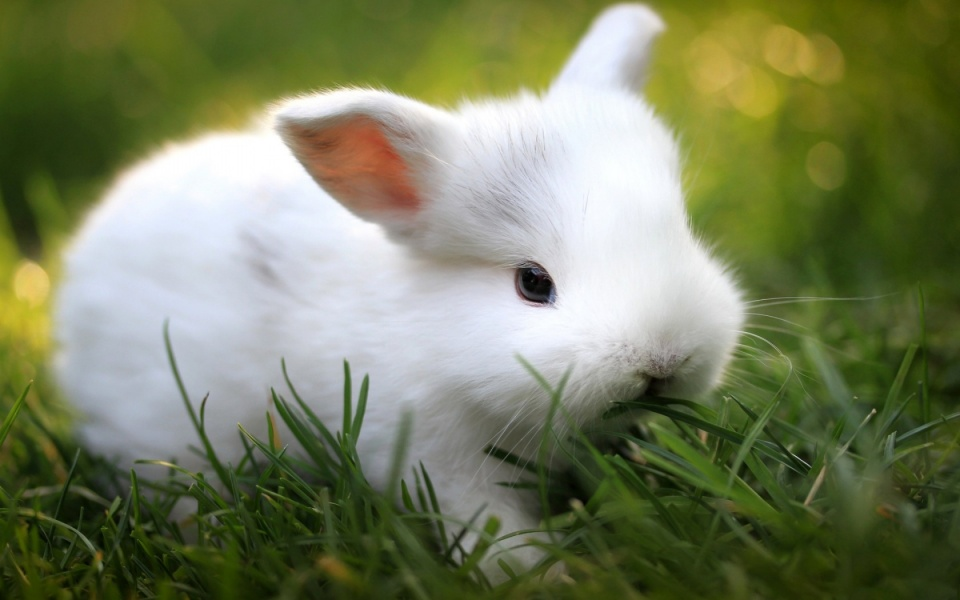 Cute White Baby Rabbits Cute White Baby Rabbit 960 x
