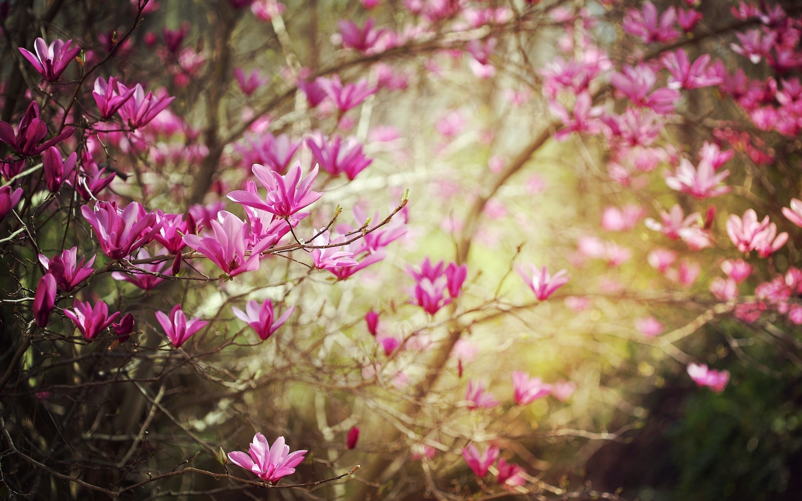 Dark pink spring flower 2560 x 1600 download close