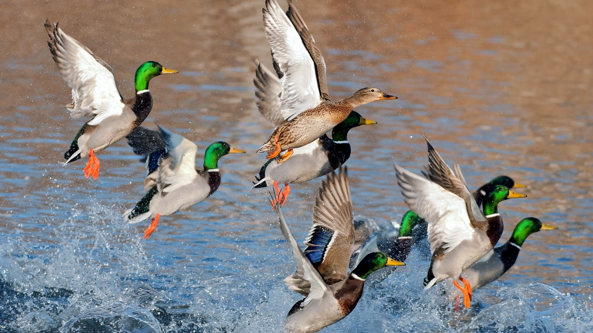 Ducks Flying Over Water | 1920 x 1080 | Download | Close