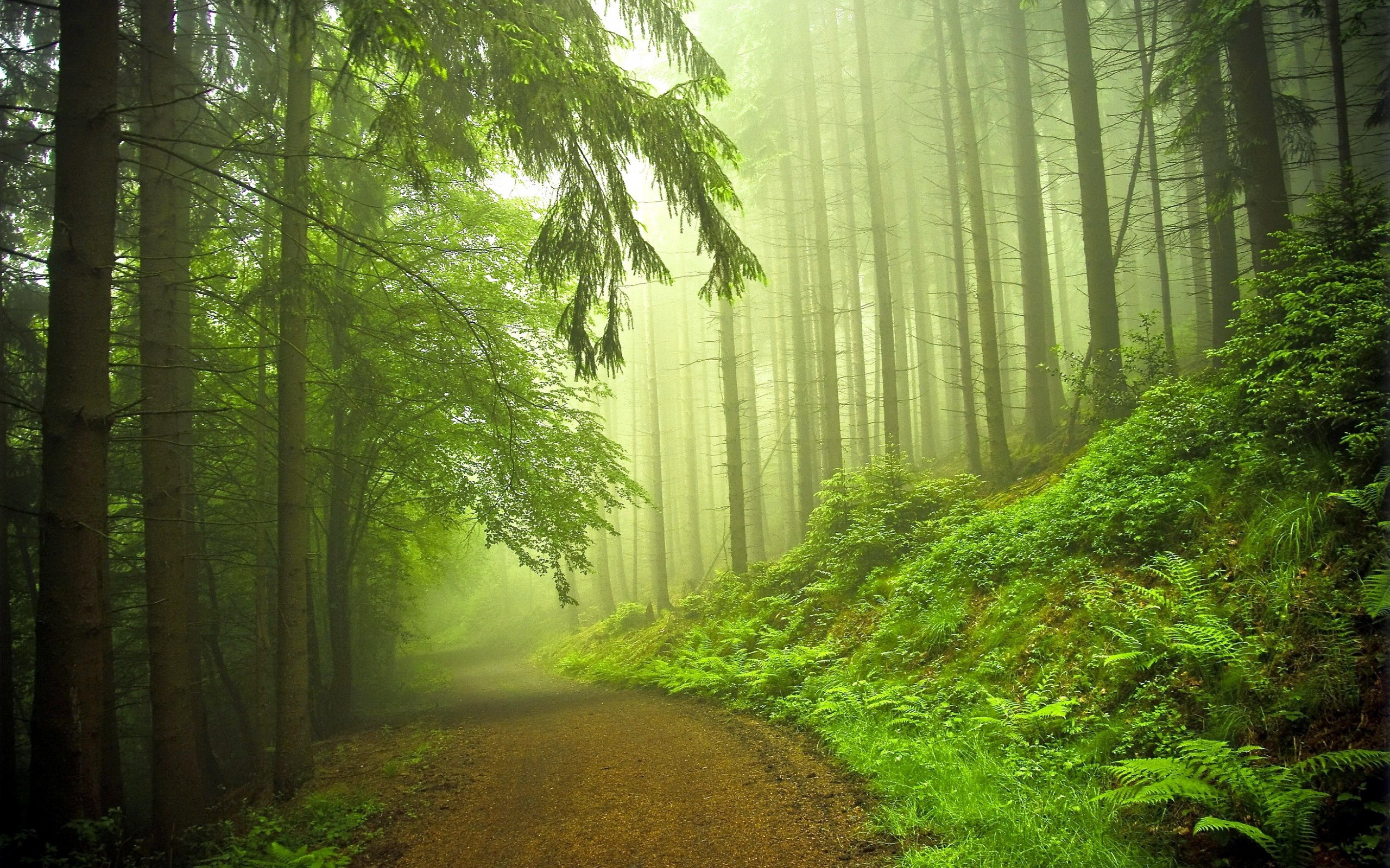 Early morning forest 2560 x 1600 download close