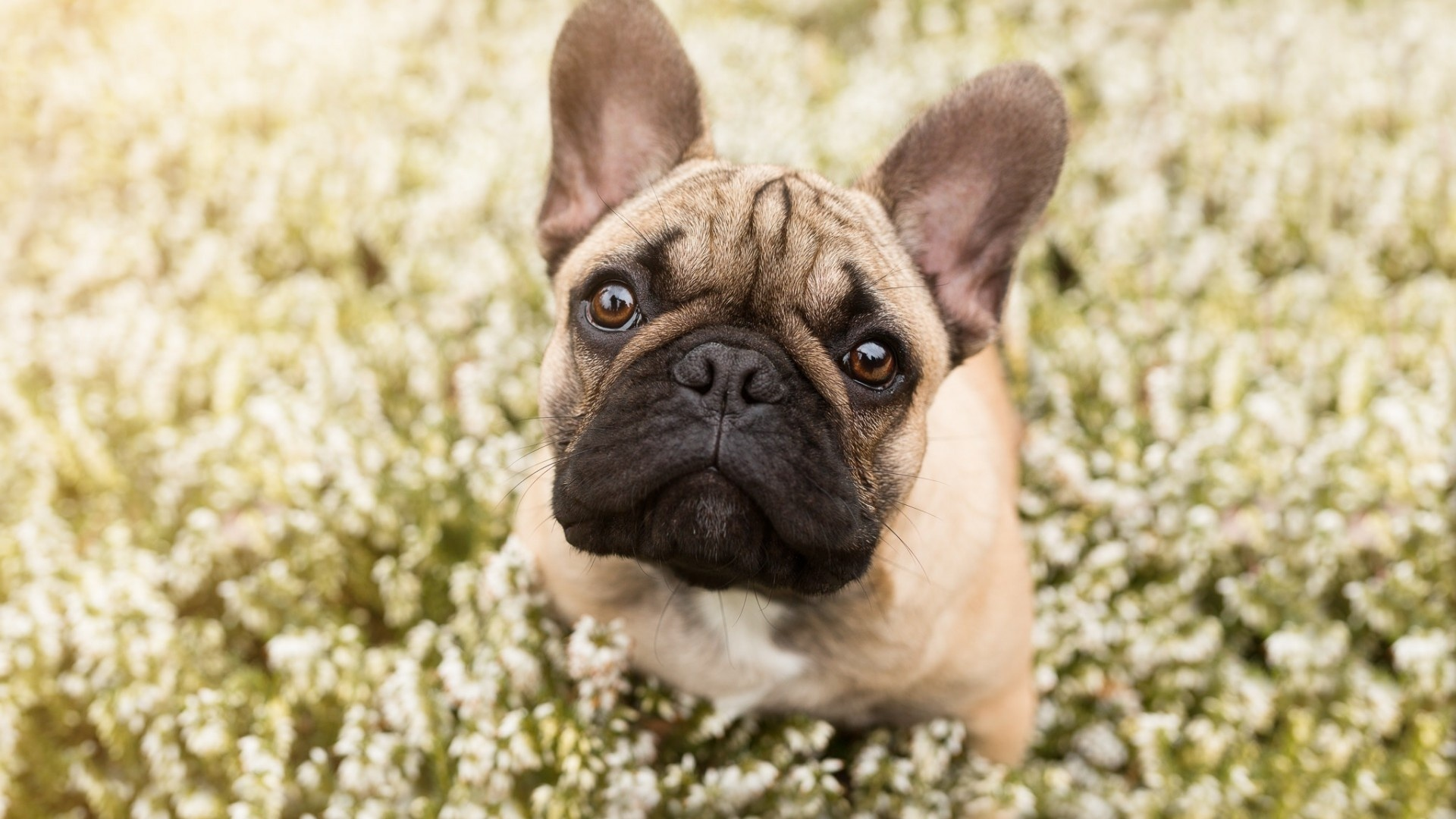 French Bulldog Wallpapers - 1920x1080 - 439521