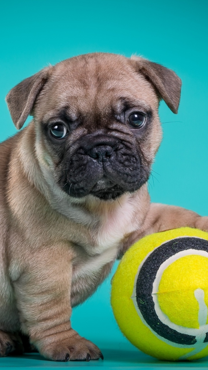 French Bulldog Puppy With Ball | 720 x 1280 | Download | Close