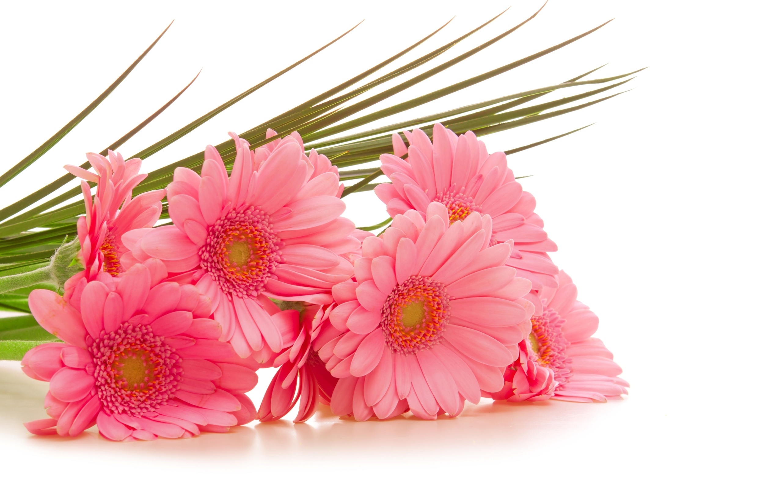 Gerbera pink flowers 2560 x 1600 download close