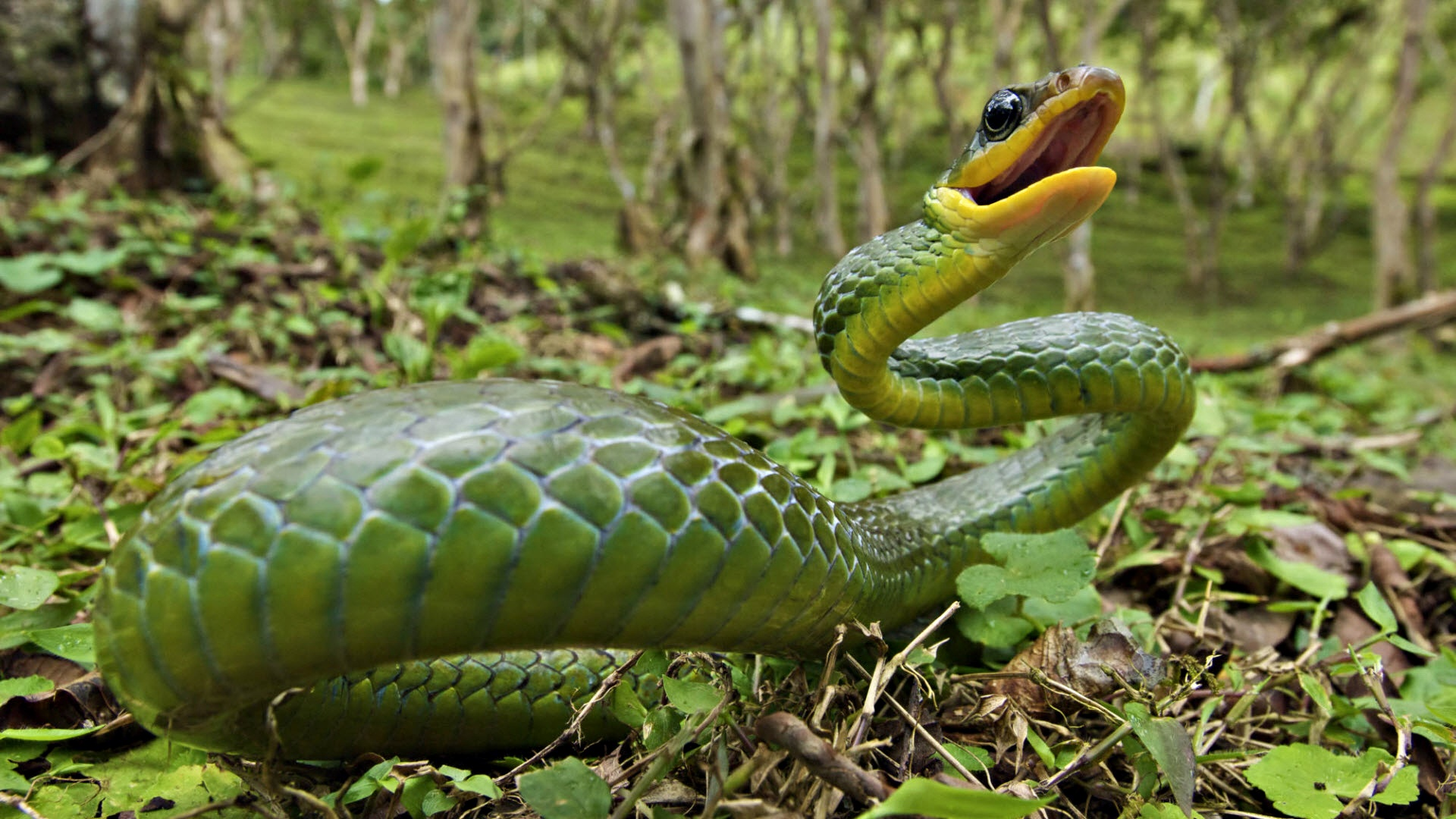 Green Snake | 1920 x 1080 | Download | Close