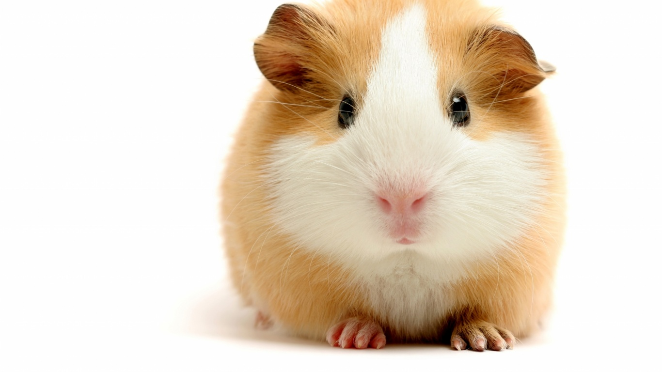 Guinea pig wallpapers 1366x768 169469 for Free guinea pig stuff