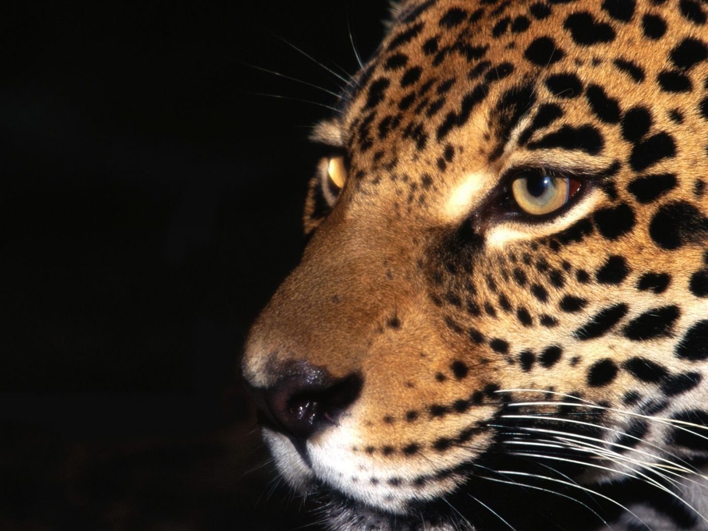 Jaguar Animal | 1400 x 1050 | Download | Close