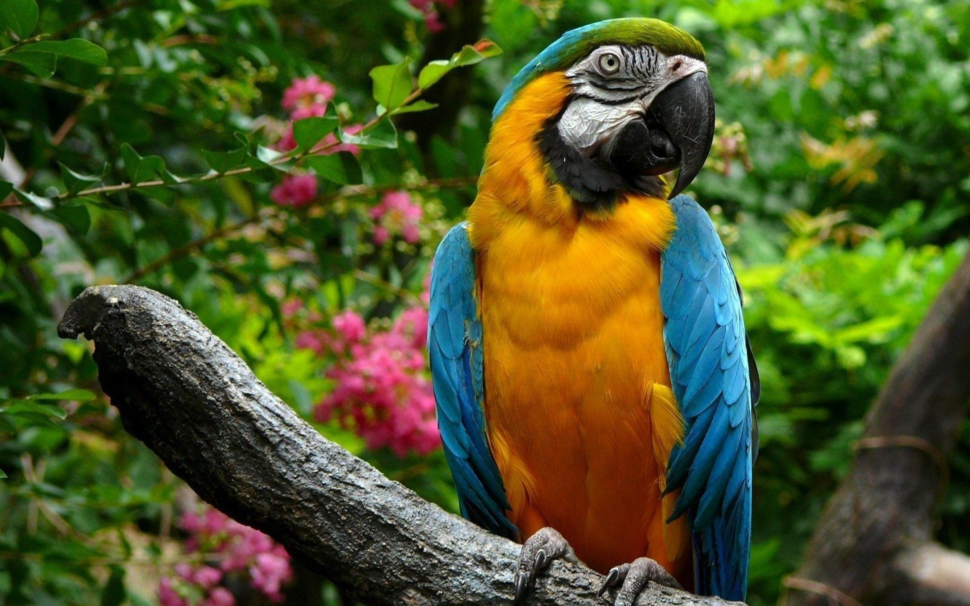 Macaw Parrot HD...
