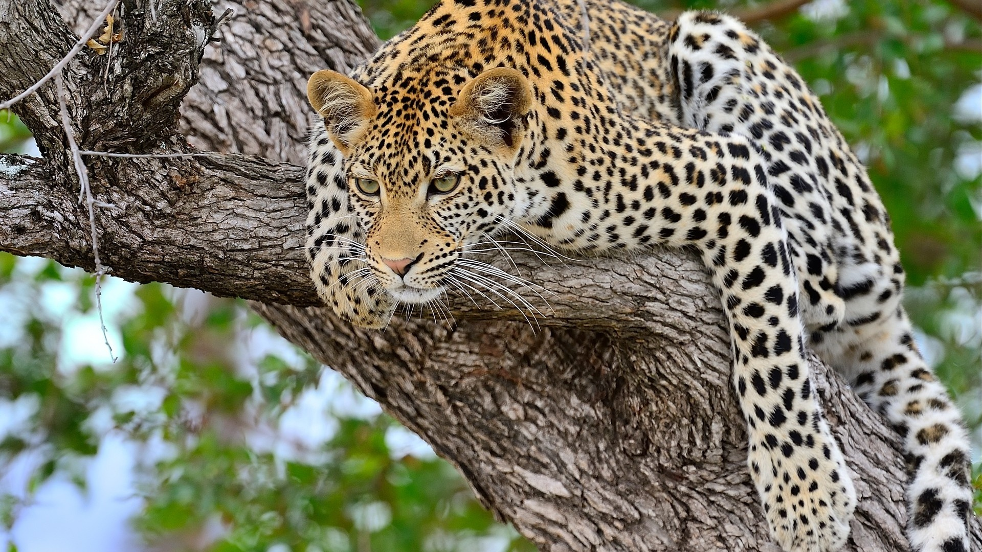 Leopard Sitting On Tree Wallpapers 1920x1080 985867