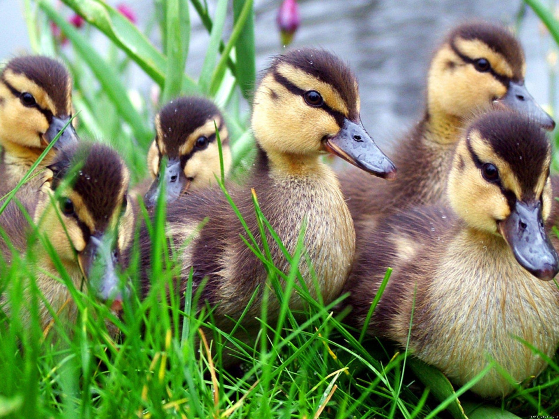 Cute little duck - photo#53