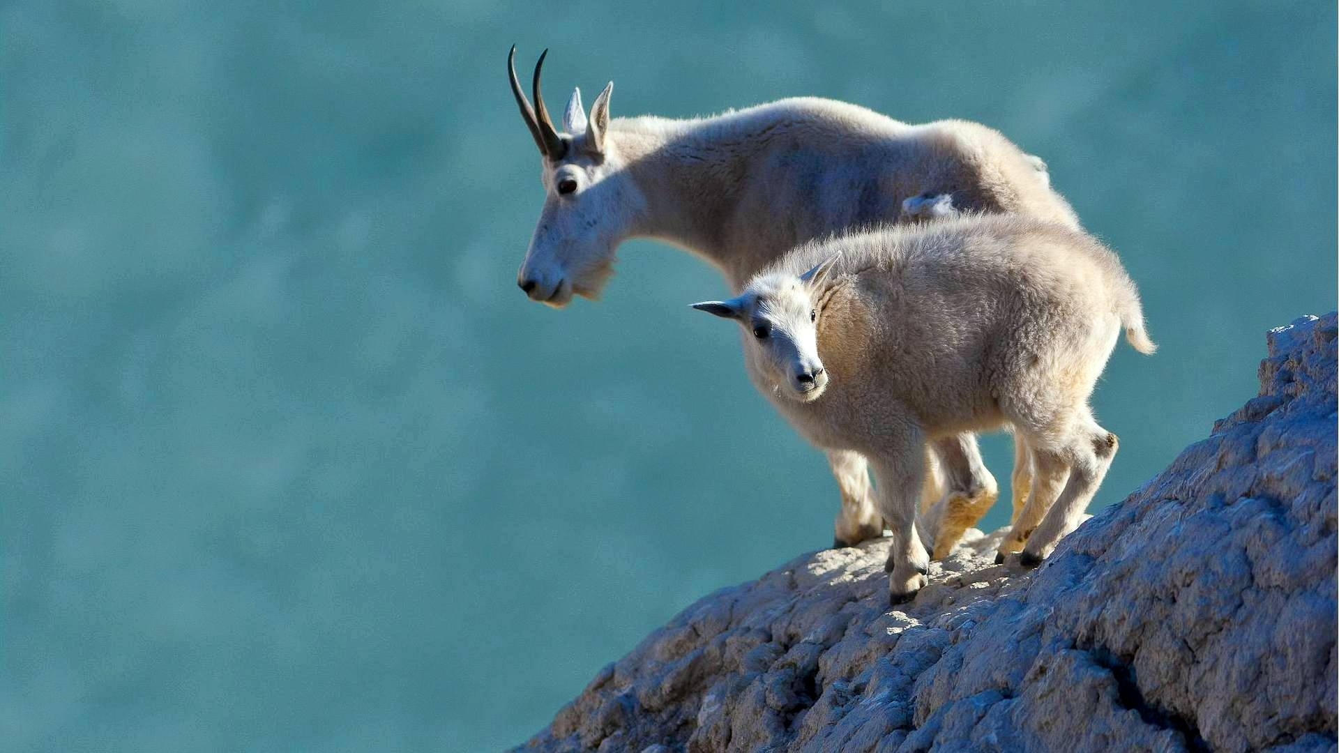 mountain goat wallpapers 1920x1080 345222