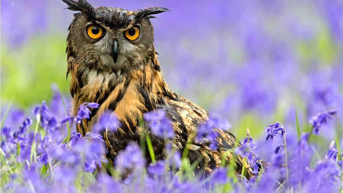 owl bird spring purple flowers wallpapers 1366x768 373881