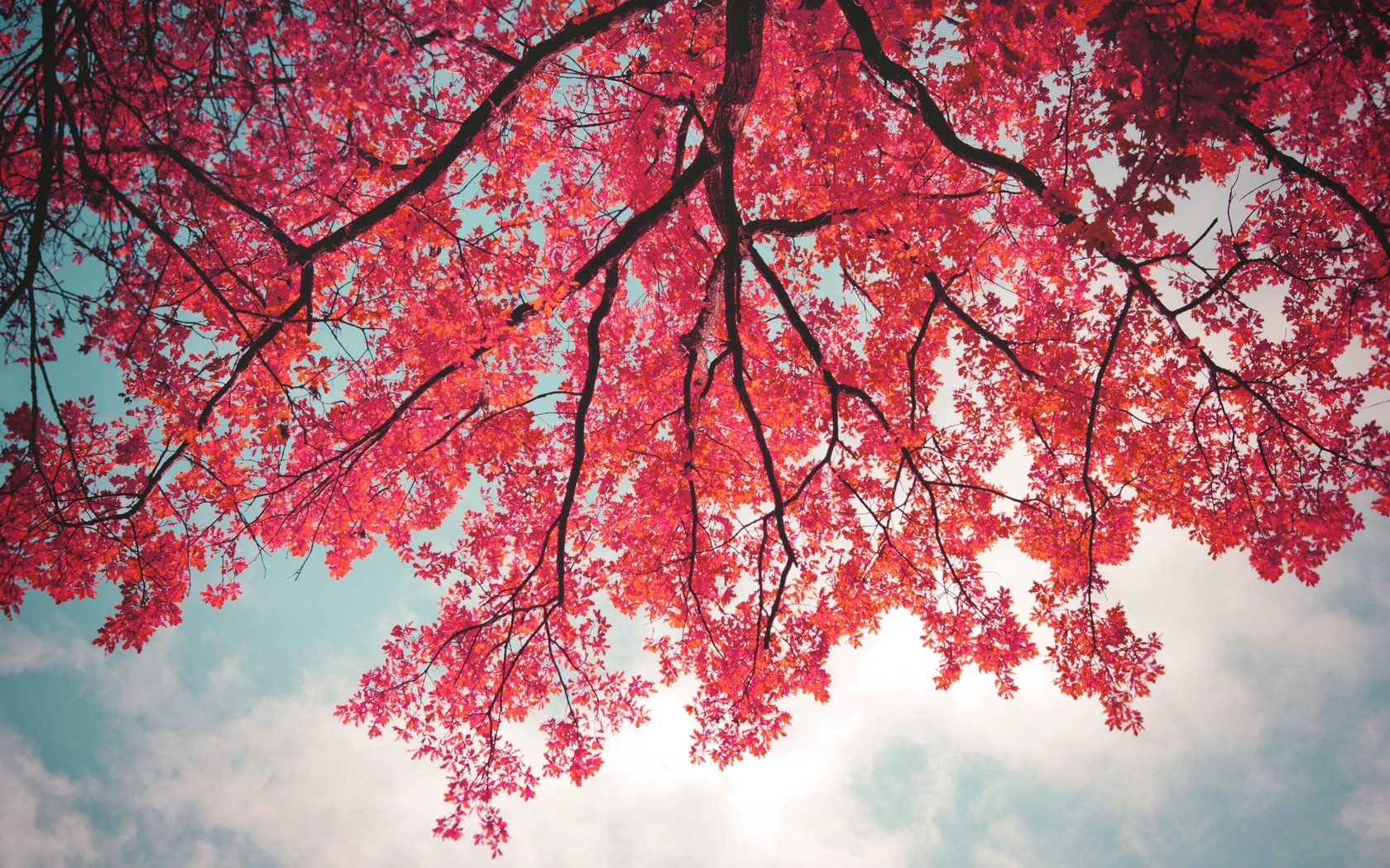 Pink Leaves In Tree Branch   1680 x 1050   Download   CloseTree Branch With Leaves