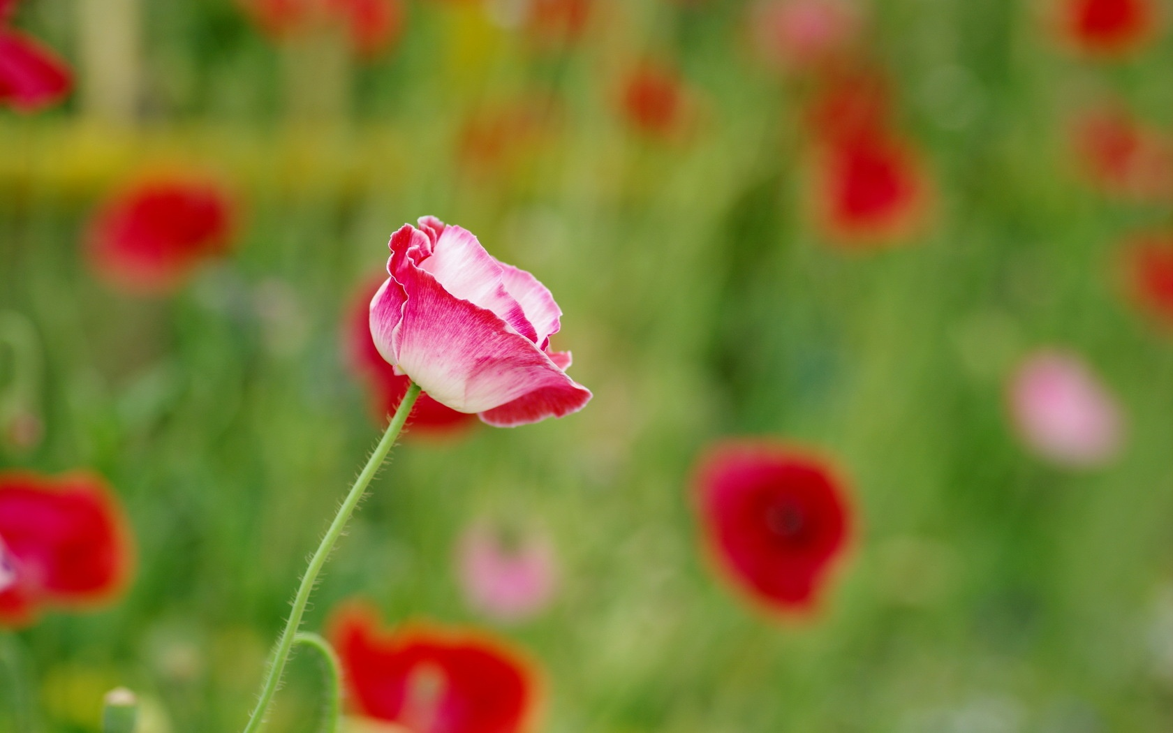 Pink Poppy Flower Wallpapers 1680x1050 278782