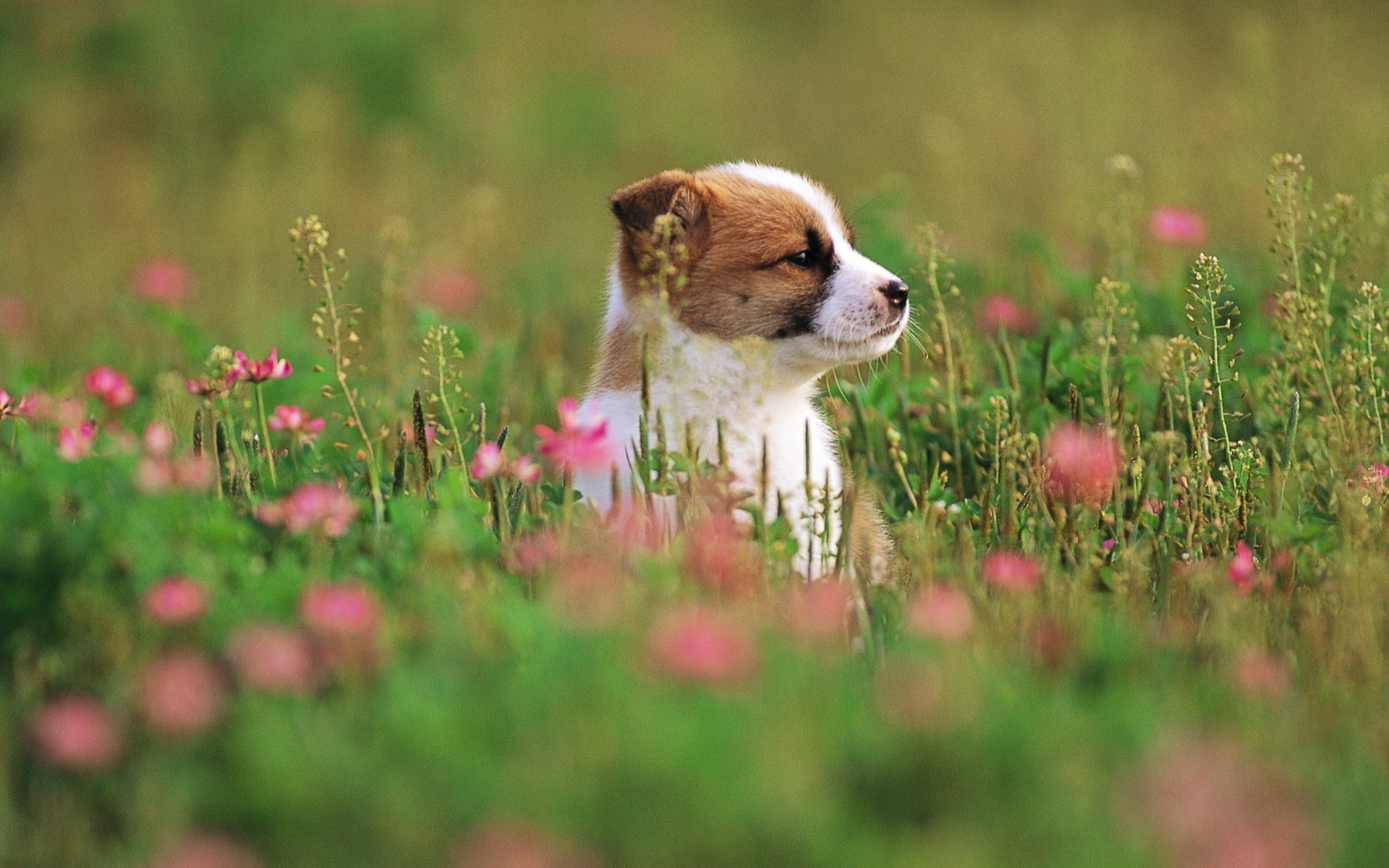 grass field background with flowers. Puppy Dog On Flower Grass Field Background With Flowers H