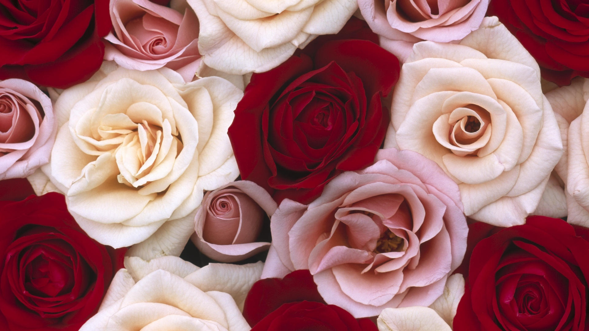 red and white rose wallpaper - photo #17