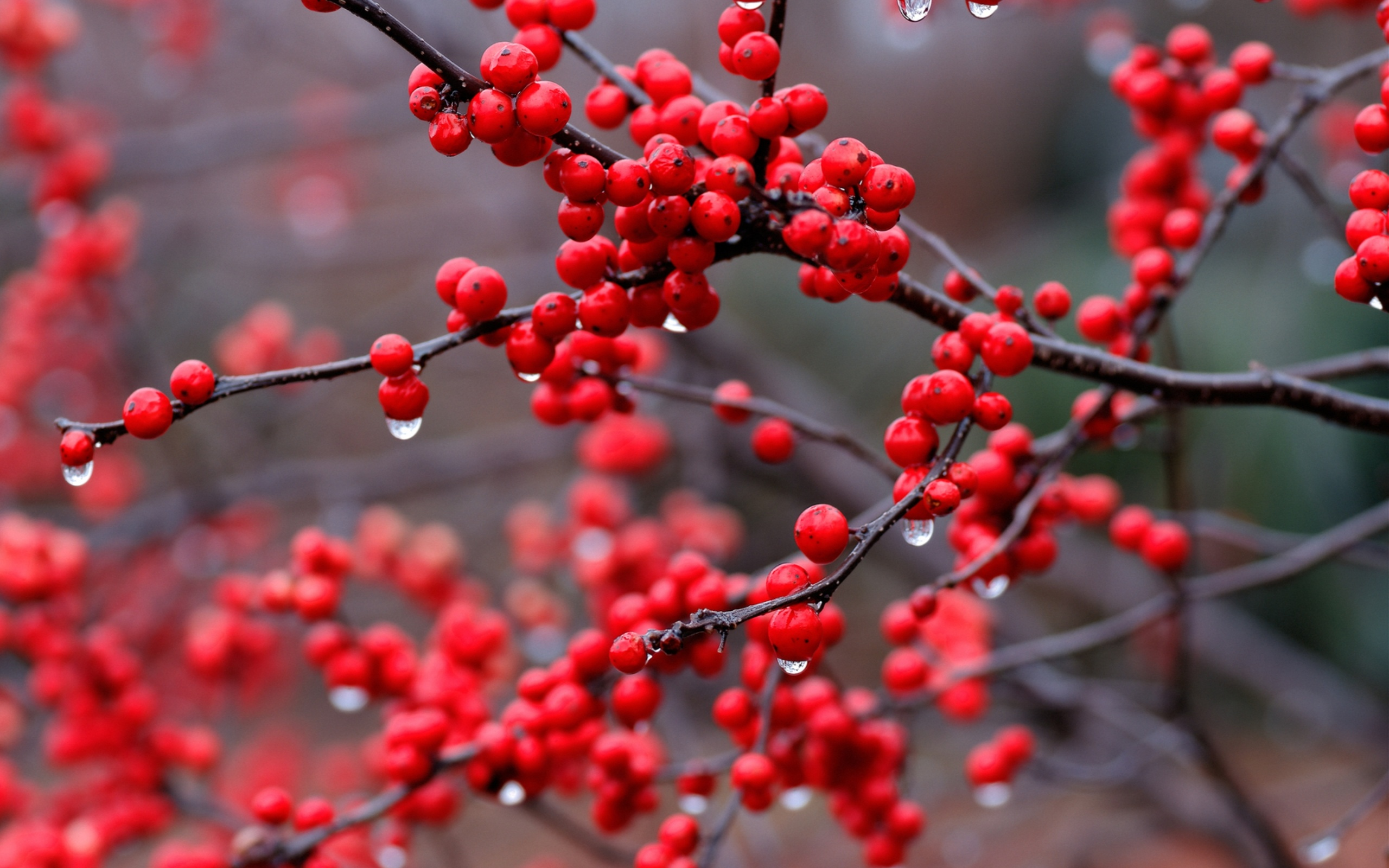 Tree Branch with Red Berries