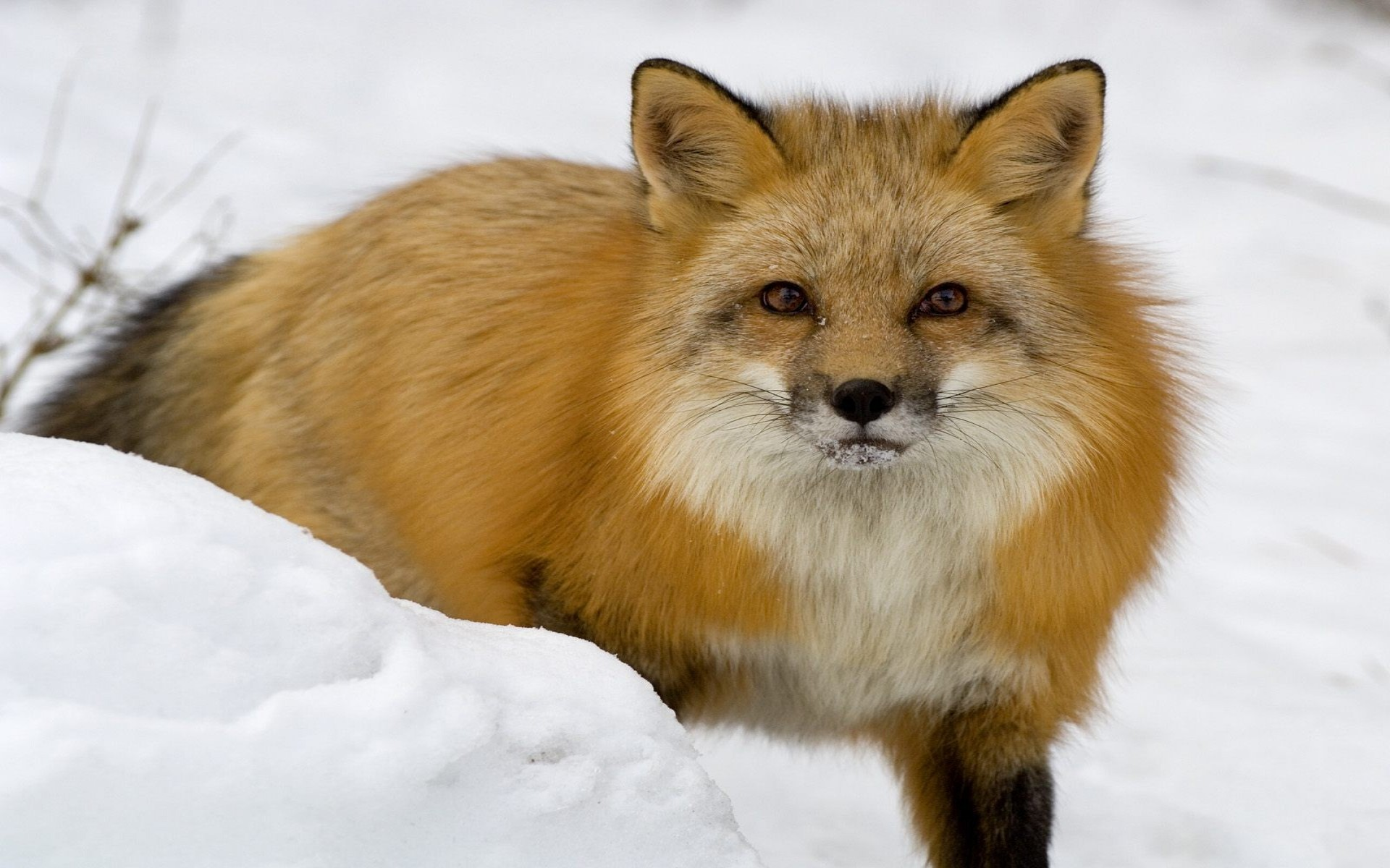 red fox in snow - photo #42