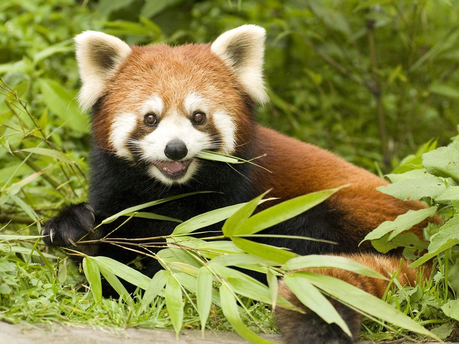 Red Panda Eating Bamboo Wallpapers - 1600x1200 - 546955