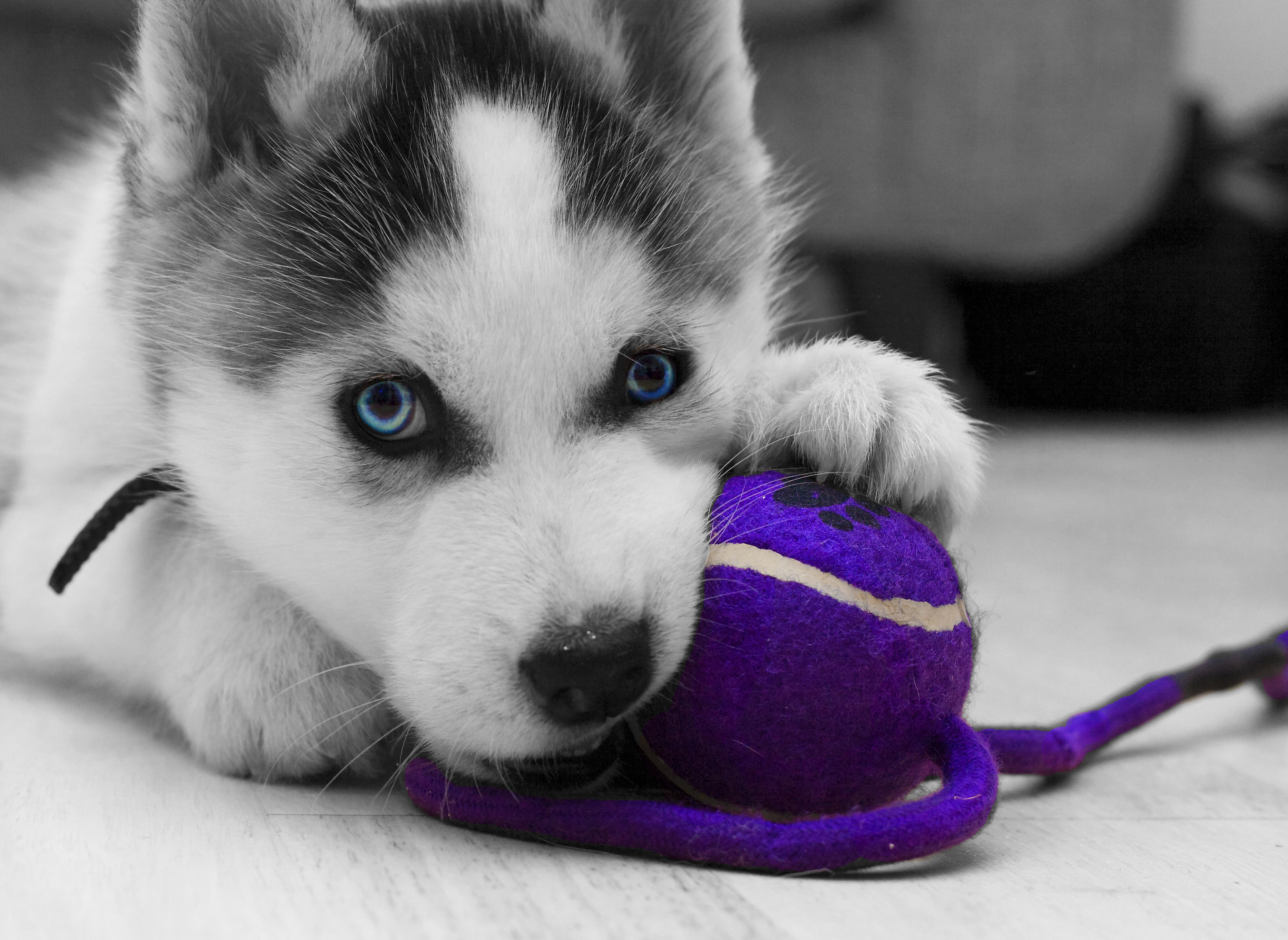 Siberian Husky Puppy Wallpapers - 3608x2632 - 1260485 HD Wide Wallpaper for Widescreen