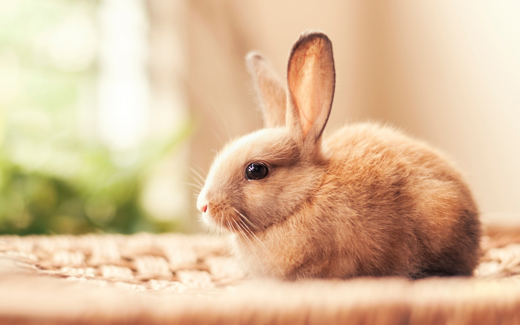Cute White Rabbit Wallpapers For Desktop: Small Rabbit Wallpapers