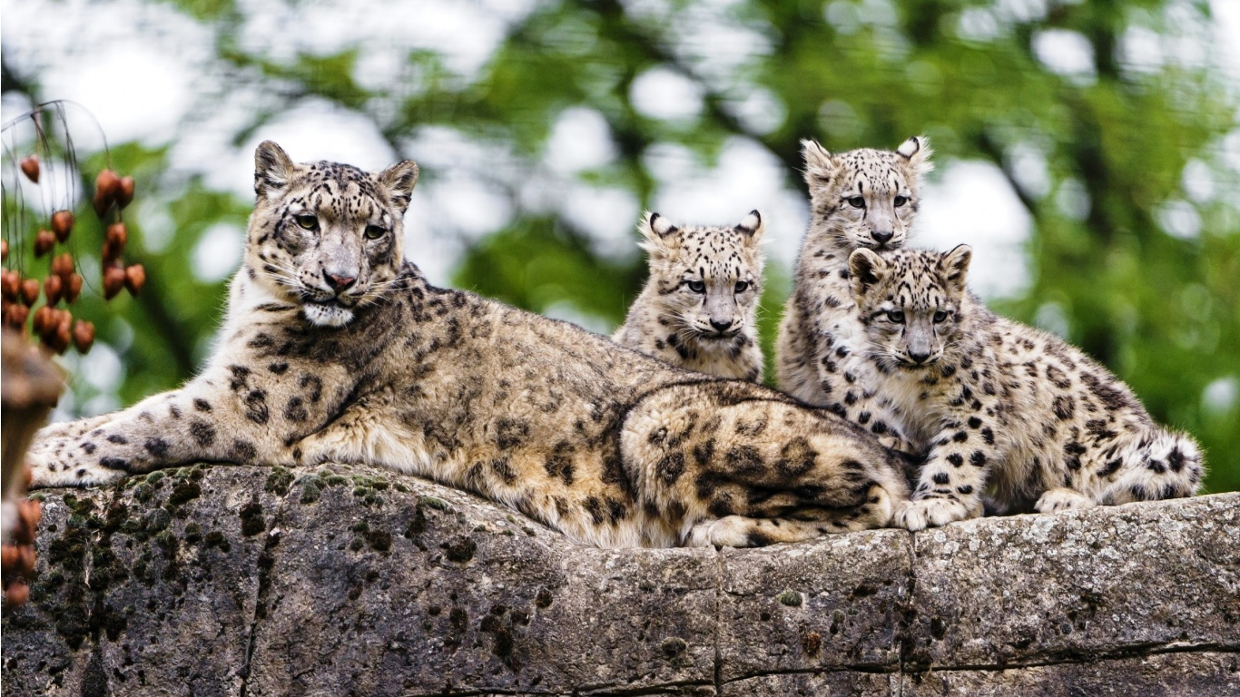 Snow Leopard Kids Wallpapers