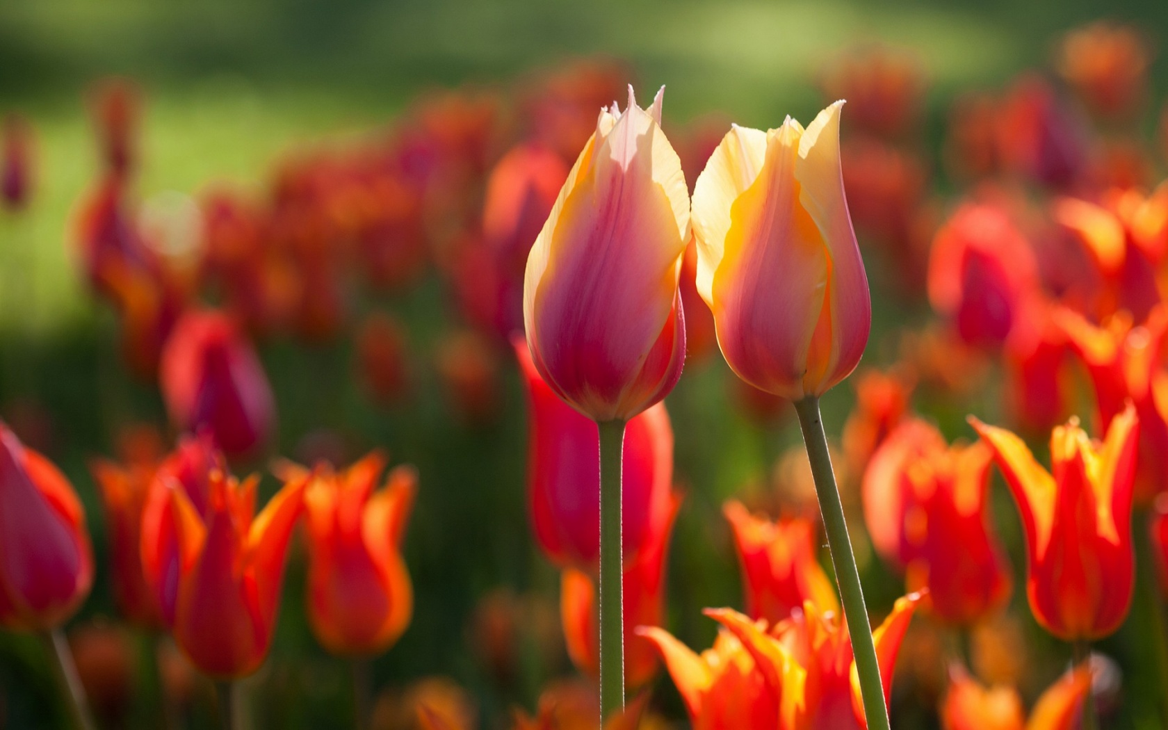 Spring Two Tulips Flowers Wallpapers