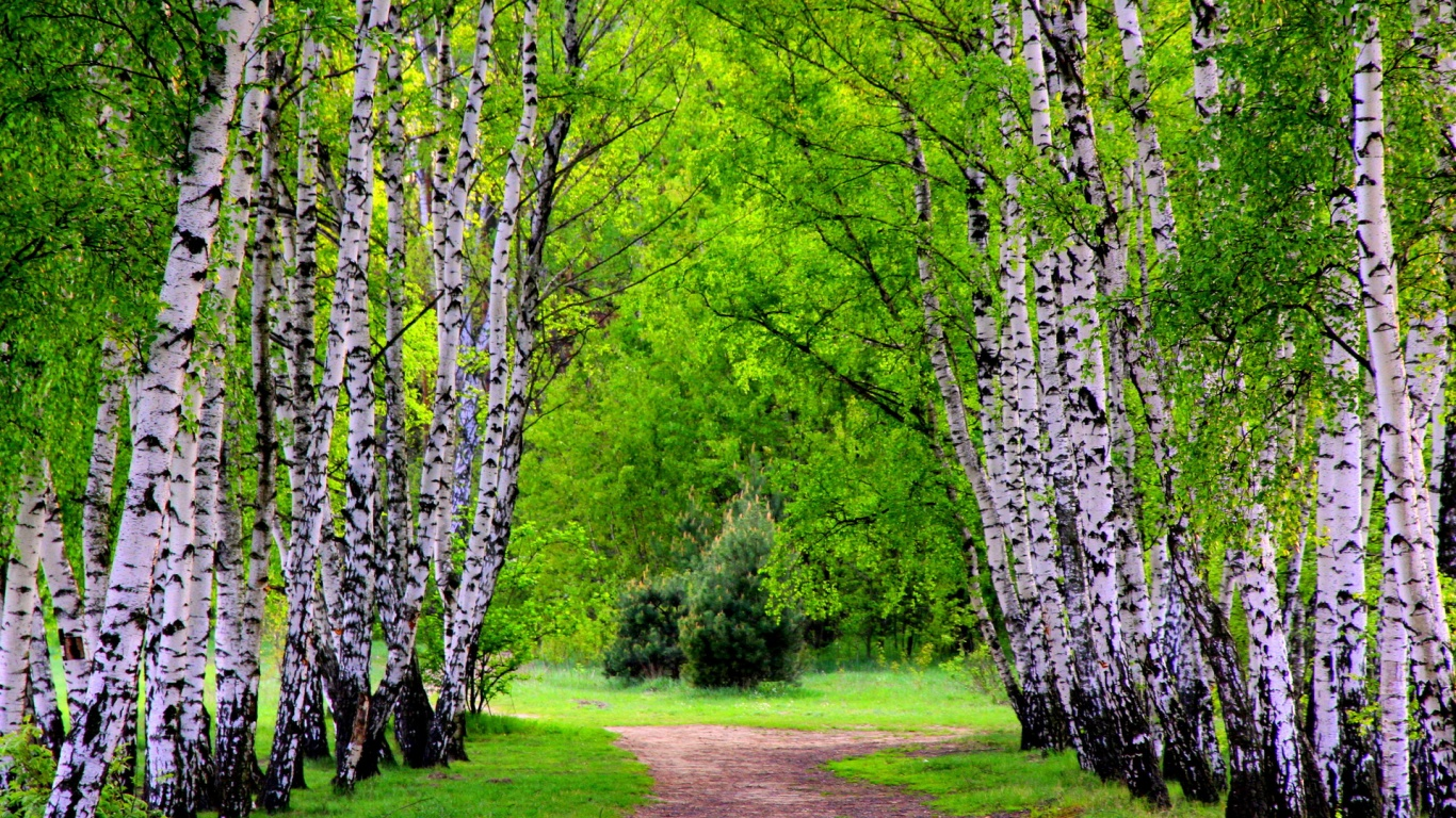 Summer Birch Trees And Road