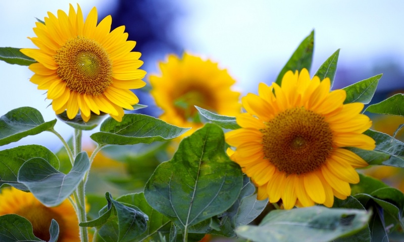 summer sunflowers andrea - photo #18