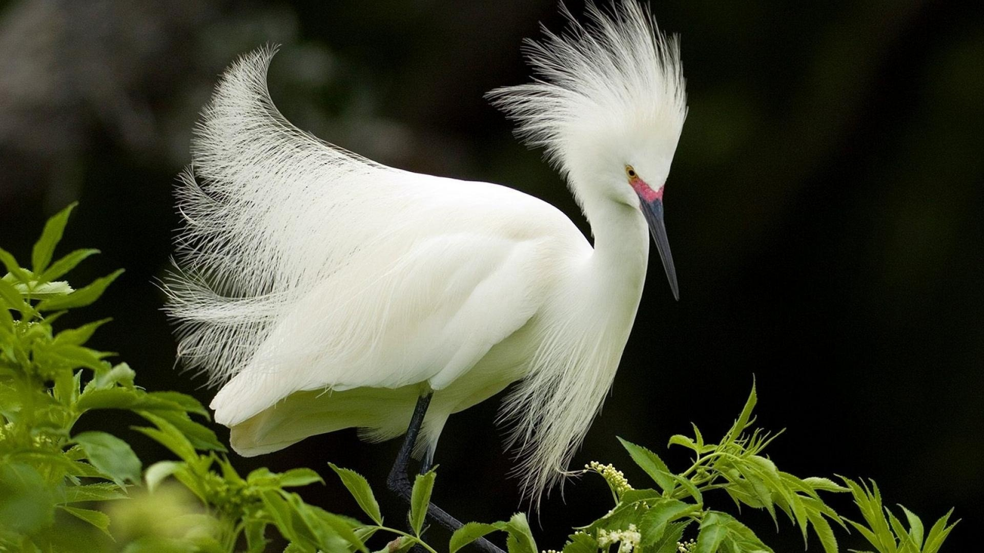 Snowy White Egret Bird
