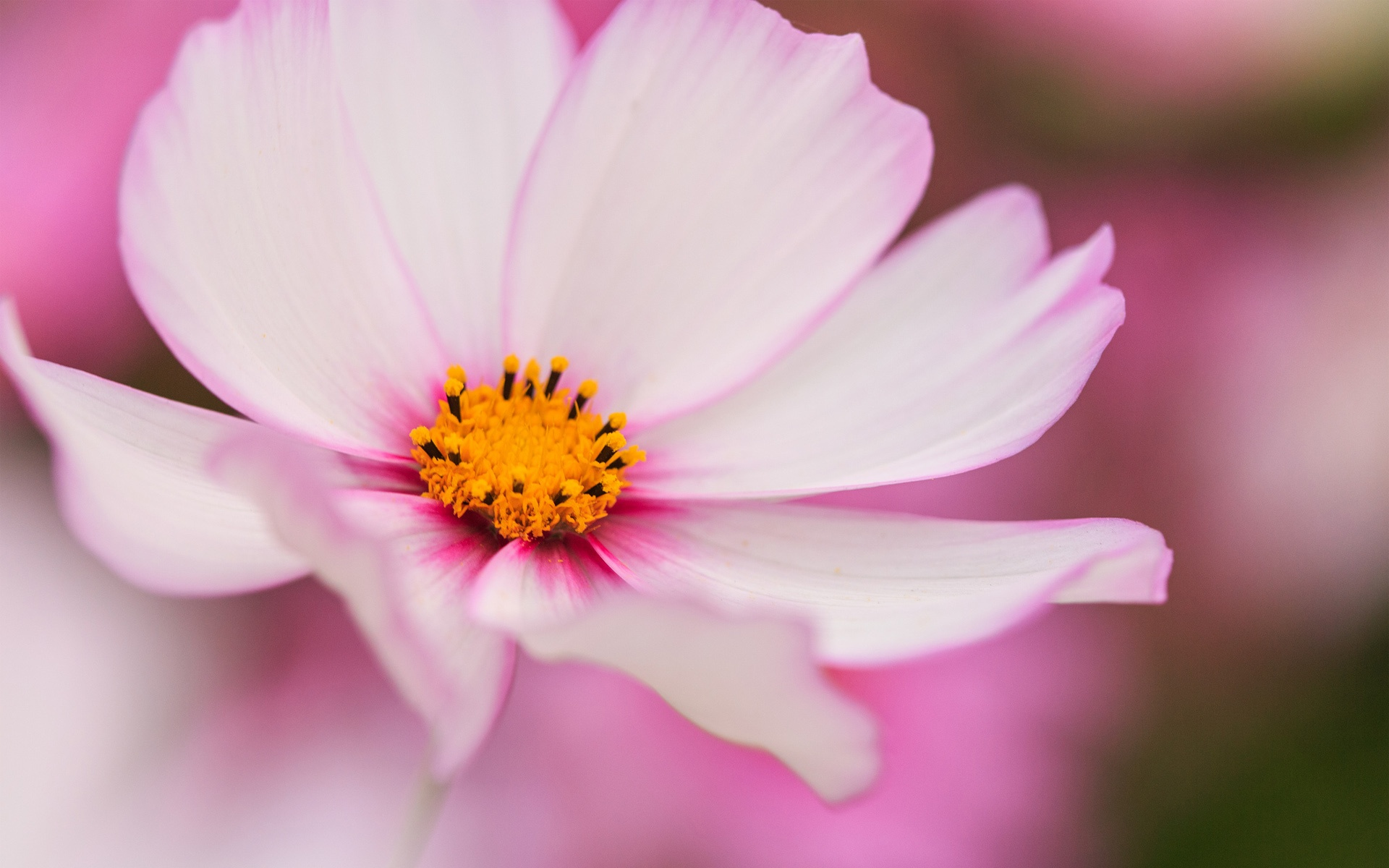 White And Pink Kosmea Flower Wallpapers 1920x1200 441770