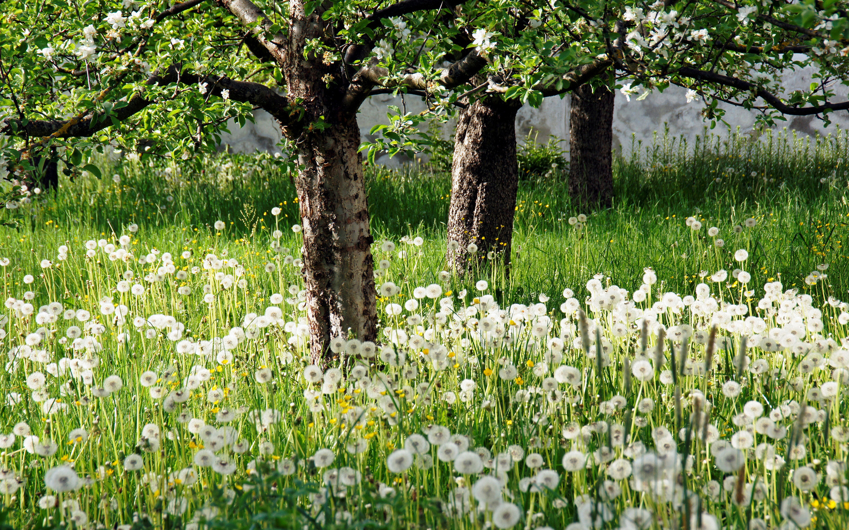 white flower garden and trees wallpapers 1680x1050 1777853