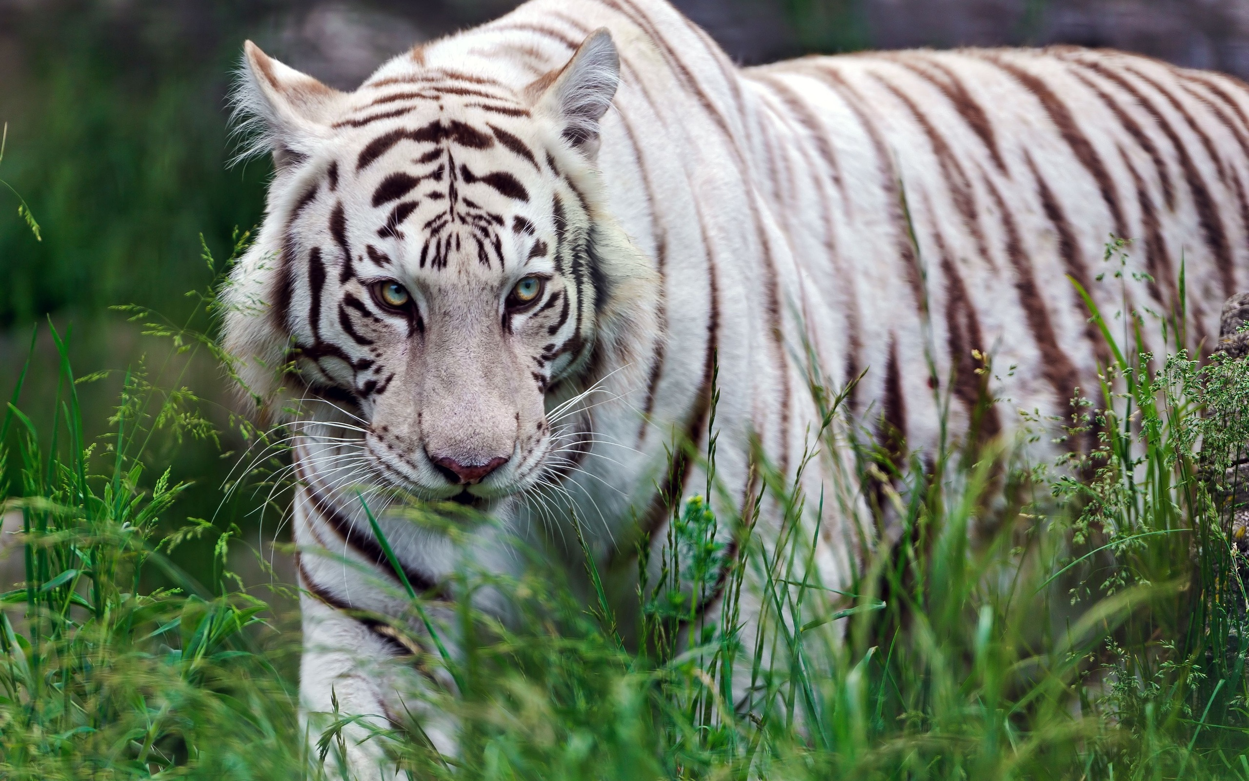 White Tigress In The Grass Wallpapers - 2560x1600 - 1441696