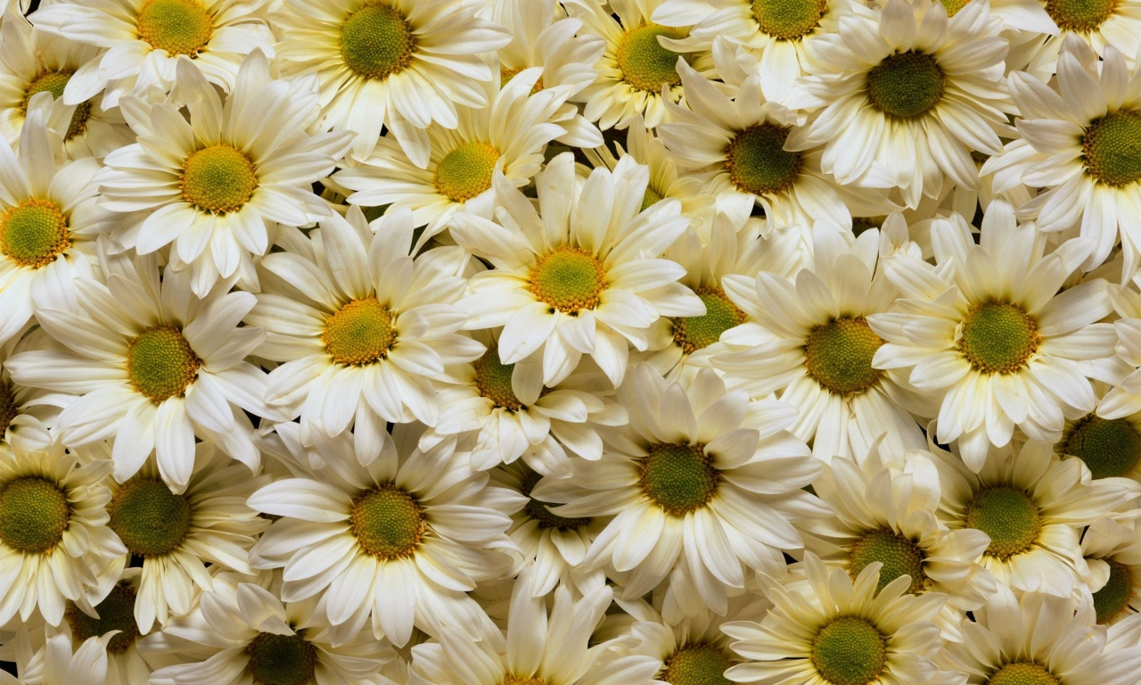 White Yellow Daisies Flowers Wallpapers 1280x768 406143