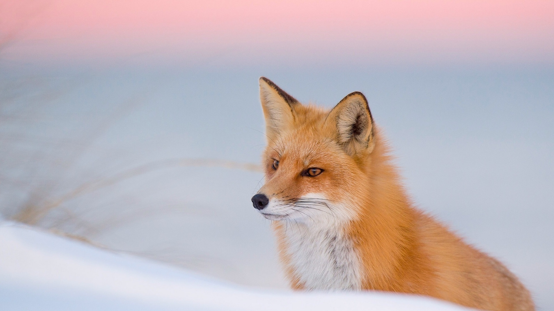 Winter Fox Red Nature Wallpapers 1920x1080 436027