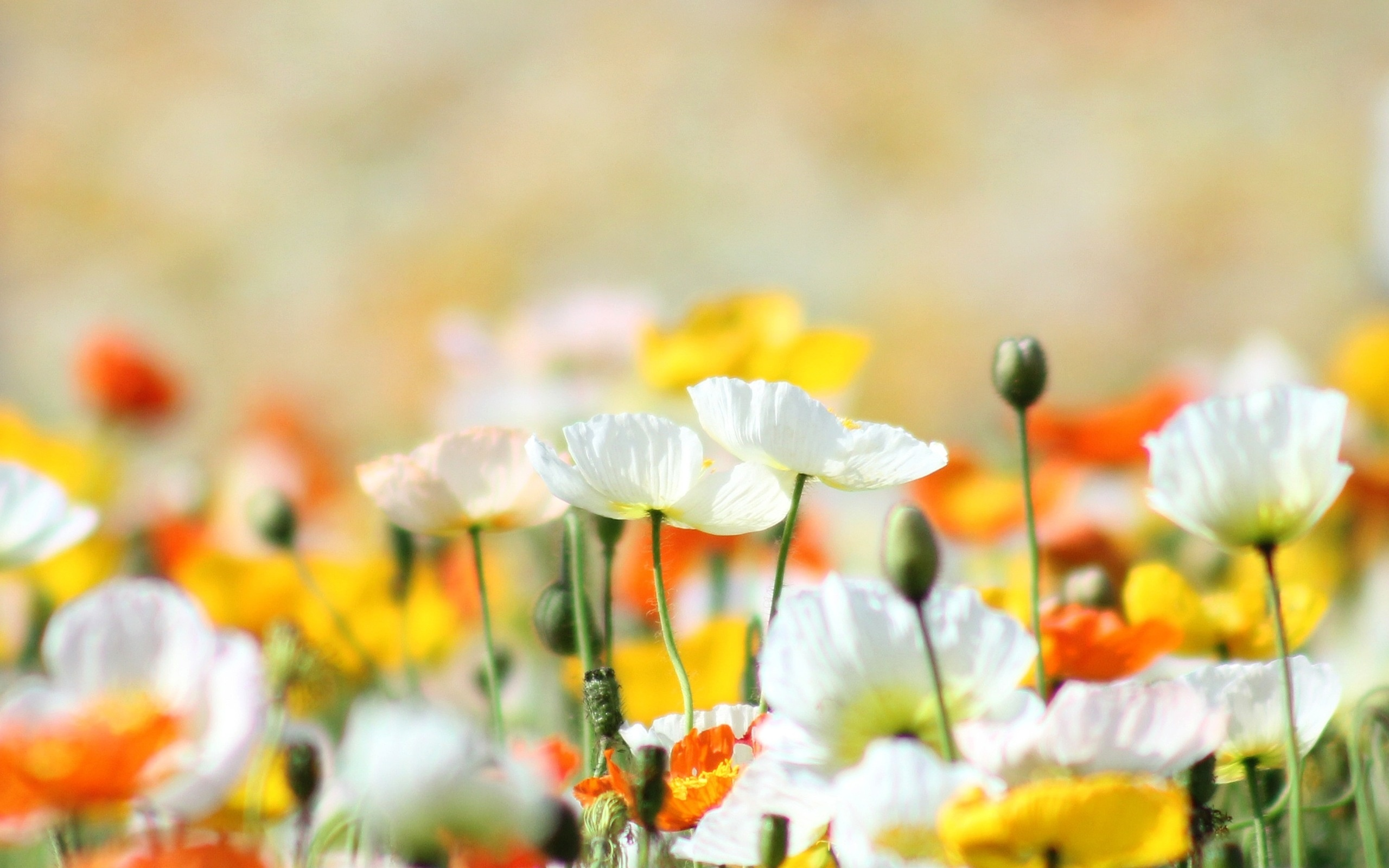 Yellow And White Poppies Flowers Wallpapers 2560x1600 768453