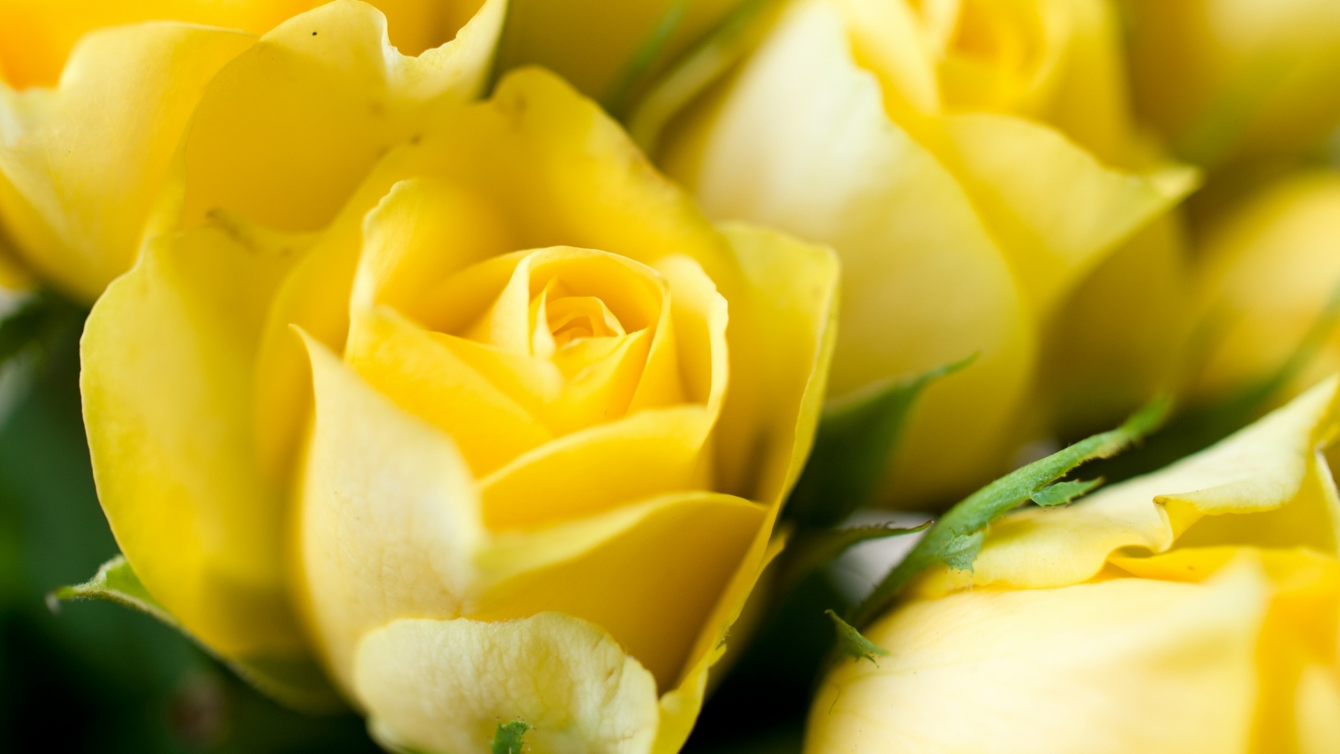 yellow roses background wallpapers 1920x1080 332278
