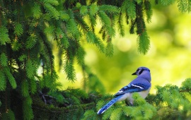 Small Blue Bird on Pine Tree